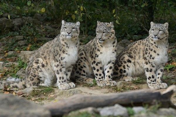 snow-leopards-967332_640