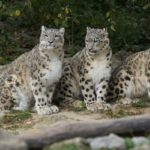 snow-leopards-967332_640